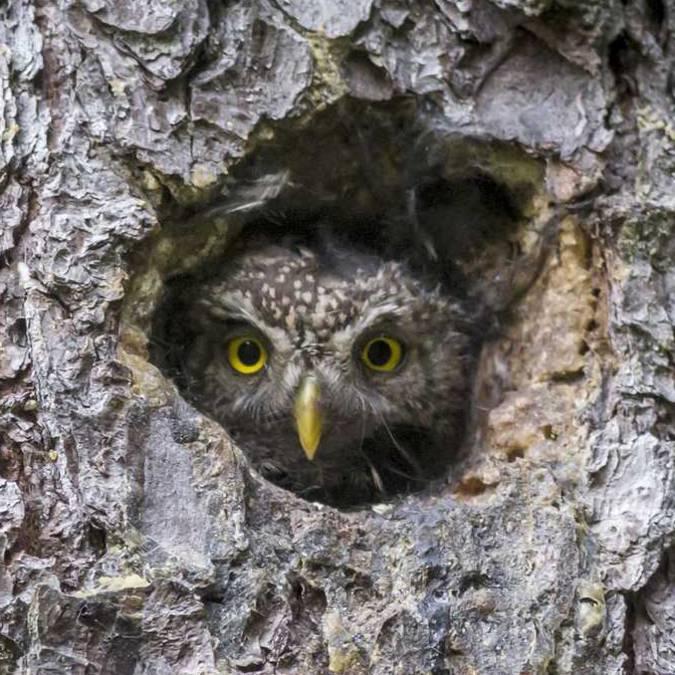 Chouette cachée dans un arbre