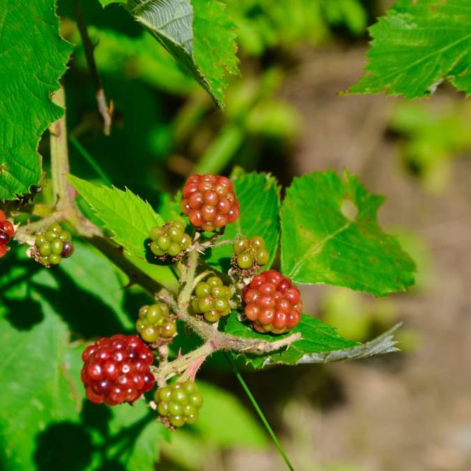 fruit des bois